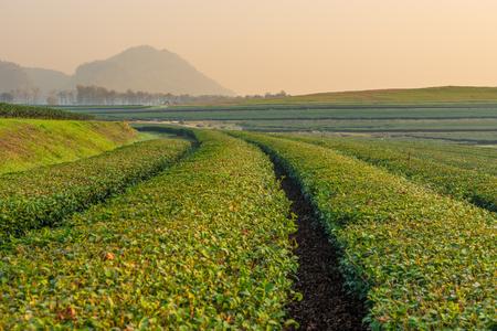 dring: Green tea field curve in the morning, Chiang Rai Stock Photo