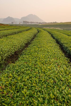 light green: Green tea terrace line, Chiang Rai, Thailand