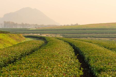 green  pattern: Green tea curve in the morning, Chiang Rai