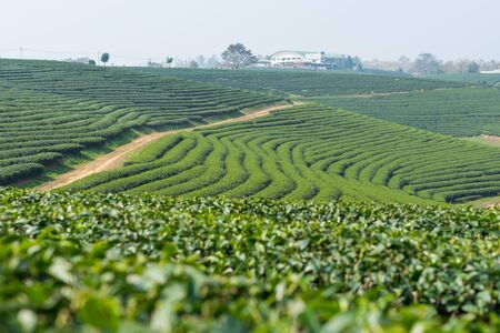 green plants: Green tea terrace landscape, Chiang Rai