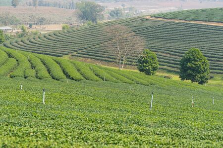 green  pattern: Landscape of green tea terrace, Chiang Rai Stock Photo
