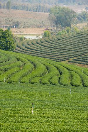 green water: Green tea terrace texture, Chiang Rai