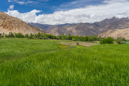 Rice field in Leh city in summer season, Leh, Ladakh, India, Asia Standard-Bild - 93363143