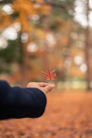 Red maple leaf in autumn season in Kyoto, Japan, Asia 版權商用圖片