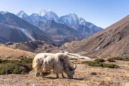White Yak in front of Kangtega and Thamserku mountain peak, Everest region, Nepal, Asia