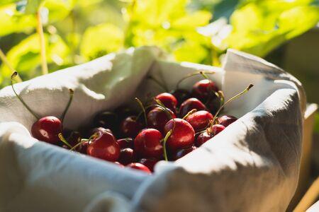 Fresh Cherry fruit in basket and cherry tree 版權商用圖片