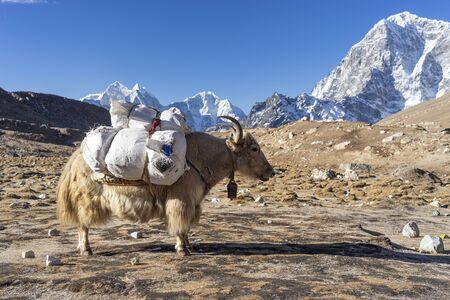 White Yak carrying mountaineering stuff in Everest base camp trekking route, Himalaya mountain range in Nepal, Asia