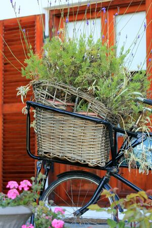 Vintage bicycle with wicker basket filled with lavender photo