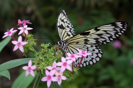proboscis: Idea leuconoe butterfly with proboscis extended, perched on a pink blossom