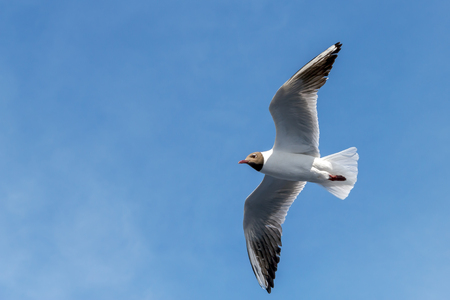 Wingspan of seagull in rapid flight on background of clear sky Stock Photo