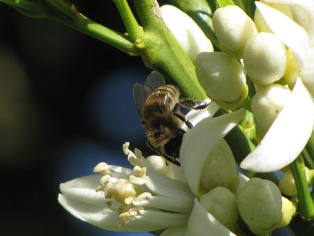 Honey Bee Collecting Pollen From an Orange Blossom