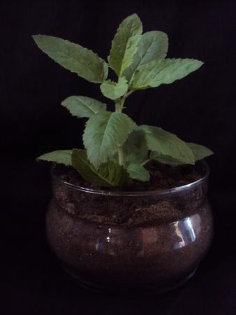 tulasi:  Tulasi Plant