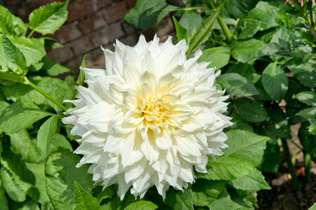 doubling: Beautiful fresh white double dahlia with a creamy yellow centre blooming against green leaves on the bush in the garden, closeup view Stock Photo