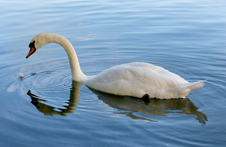 Graceful adult white mute swan swimming in a lake or pond with its arched neck and plumage reflected in the calm rippling water Stock Photo