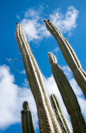 rock formations: Low angle view against coludy blue sky of tall spiny organ pipe cactus on Aruba growing on the Ayo rock formations Stock Photo