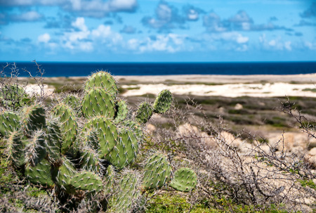 Spiny cactus growing on the seashore in Aruba perfectly adapted with their leafless stems to the arid tropical climate Stock fotó