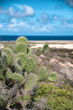 caribbean climate: Spiny cactus growing on the seashore in Aruba perfectly adapted with their leafless stems to the arid tropical climate Stock Photo