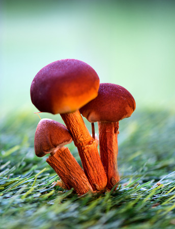 Close Up of Red Orange Mushrooms Growing in Green Grass with Selective Focus photo