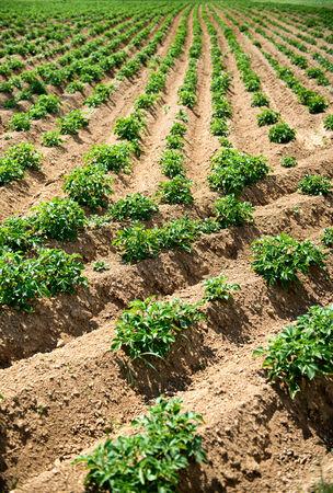 land use: Righe di piante verdi che crescono in solchi di Agriturismo Campo Archivio Fotografico