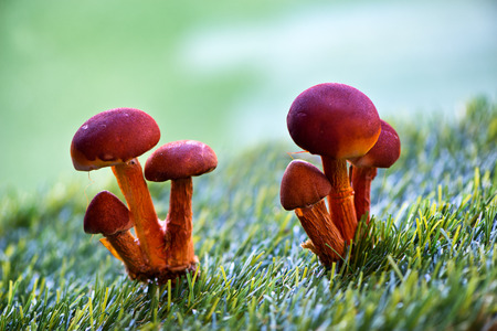 Close Up of Clusters of Red Orange Mushrooms Growing in Grass photo
