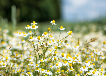 medicinal plants: Close Up of Field of Chamomile Flowers with Selective Focus