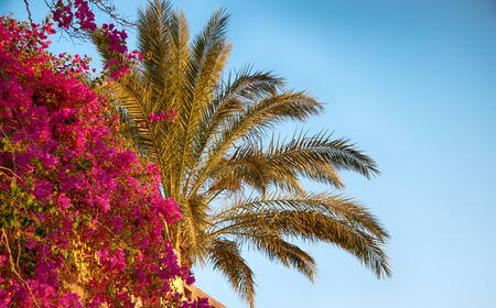 Purple bougainvillea flower with a tropical palm tree against a clear sunny blue summer sky conceptual of travel and tropical vacations photo