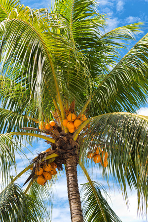 ripening: Low Angle View of Coconut Palm Tree Full of Coconuts Stock Photo