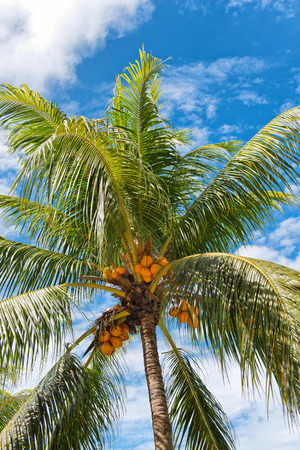 Low Angle View of Coconut Palm Tree Full of Coconuts photo