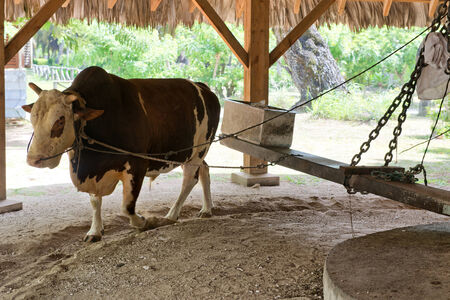 Ox turning the mill at the lUnion Estate, La Digue, Seychelles, extracting the coconut oil from the dried copra photo