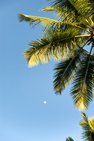 Looking Up at Moon and Palm Tree Fronds Against Blue Daytime Sky photo