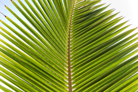 frond: Close Up Nature Detail of Palm Frond