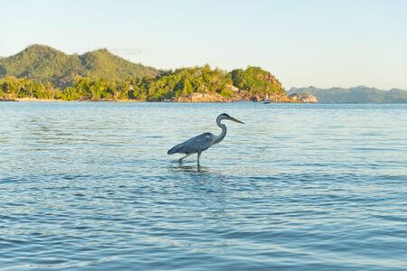 aquatic bird: Side View of Grey Heron Wading in Water at Port Launay Marine Park, Seychelles Stock Photo