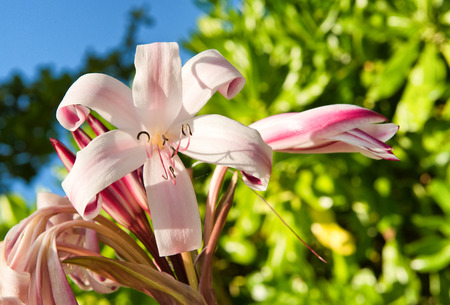 Close Up Nature Detail of Pink Lily in Bloom photo