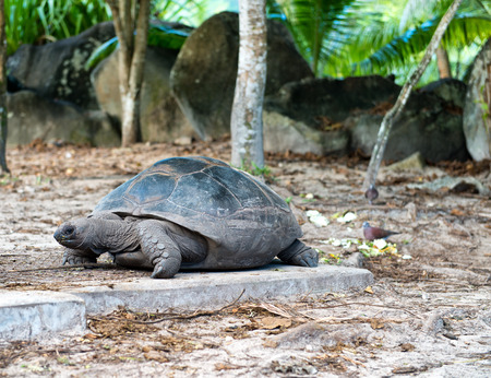 terrestrial: Close up Old Giant Aldabra Tortoise with Dried Leaves at Mahe Island, Seychelles.