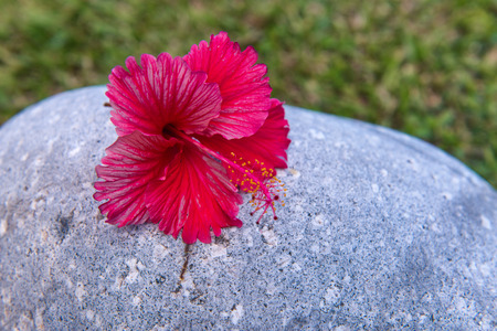 frilled: Nature Still Life of Bright Fuchsia Hibiscus Flower on Rock