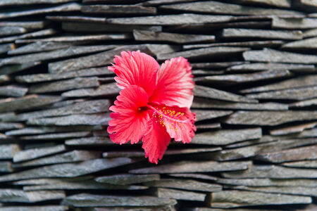 drystone: Close up Beautiful Red Hibiscus, known as Rose Mallow, Flower Plant on Piled Rocks Background. Stock Photo