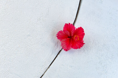 Single Bright Fuchsia Hibiscus Flower in Cement Crack photo