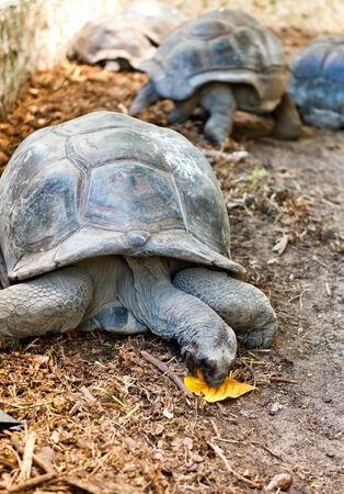Giant Tortoise Eating Leaf, Aldabra Atoll, Seychelles Stock Photo