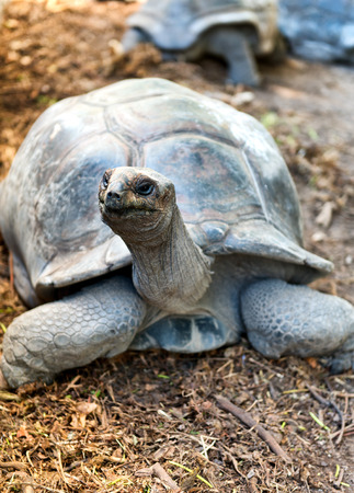 Inquisitive Giant Tortoise raising up to look at the camera on Aldabra atoll in the Seychelles Stock Photo