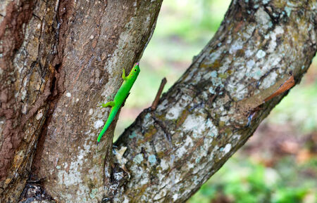 Bright Green Lizard on Side of Tree Trunk photo