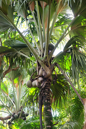 Coco de Mer coconuts growing on a palm tree in the Valle de Mai National Park, Praslin, Seychelles, a plant indigenous to the islands photo