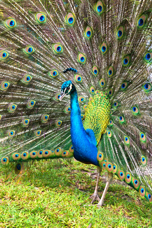 tail fan: Peacock doing a mating display raising its iridescent blue-green tail feathers in an open fan