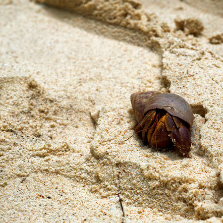 occupying: Hermit crab in a discarded marine snail shell on beach sand facing towards the camera with copyspace alongside