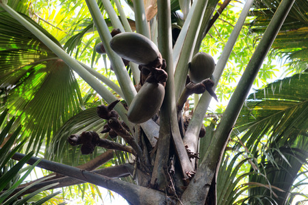 lobed: Coco de mer palm tree, indigenous to the island of Praslin in the Seychelles growing in the Valle de Mai National Park