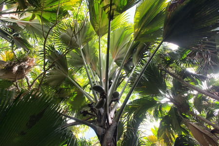 lobed: Coco de Mer palm forest, a palm tree indigenous to the Seychelles, growing in the Valle de Mai National Park on Praslin Stock Photo