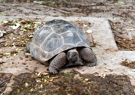 Giant tortoise on Aldabra, the worlds second largest coral atoll which is home to about two thirds of the Giant Tortoise population, Seychelles