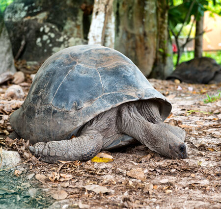 terrestrial: Close up Adult Huge Aldabra Tortoise Animal on the Ground with Dry Leaves at the Zoo