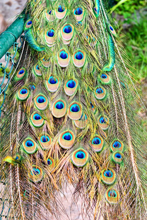 covert: Close up Extravagant Eye-Spotted Tail Covert Feathers of Peafowl Bird Animal