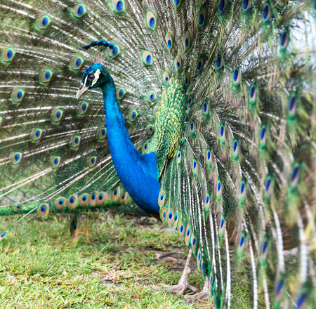 tail fan: Close up side view of an iridescent blue male peacock in a courting display with its tail feathers raised in a fan Stock Photo