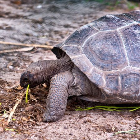 terrestrial: Giant tortoise grazing on Aldabra, Seychelles, a large coral atoll home to about two thirds of the worlds population of Giant Tortoises